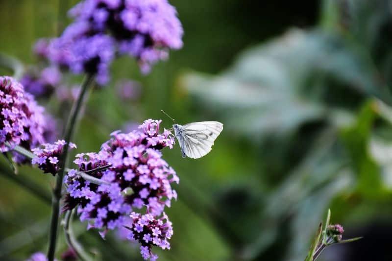 10-fantastic-butterfly-plants-3-verbena