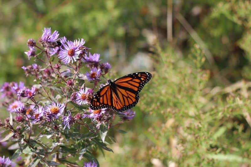 10-fantastic-butterfly-plants-6-new-england-aster