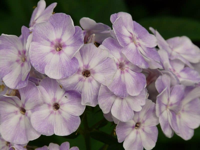 10-fantastic-butterfly-plants-7-phlox-paniculata