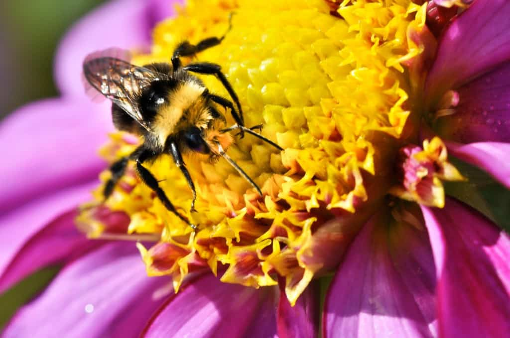 11 08 27 Dahlia Festival Bee 91 The Beekeeping Resource Guide