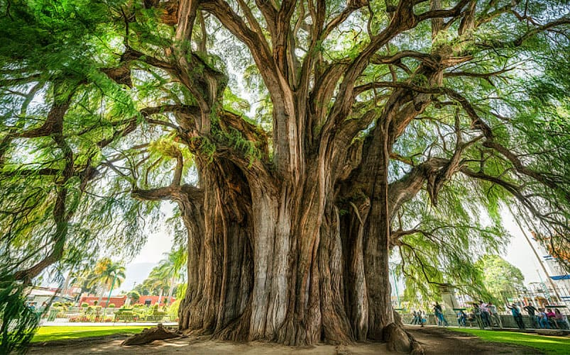 6 11 of the Most Sacred and Iconic Trees from Around the World