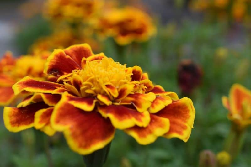 7-fastest-growing-flower-seeds-3-marigold