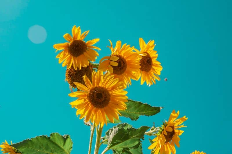 7-fastest-growing-flower-seeds-5-sunflowers