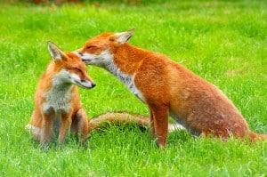 domesticated-garden-foxes