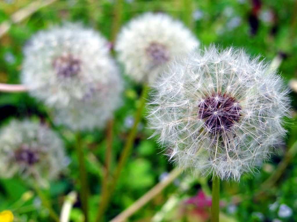 DSC07618 B 1024x768 Growing a Pet Dandelion