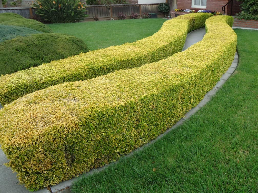 Hedges and lawn Santa Clara California How Not To Be A Garden Lawbreaker