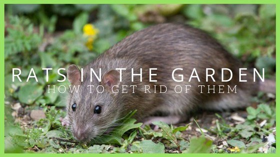 Rats In The Garden: Advice, control and elimination 2017