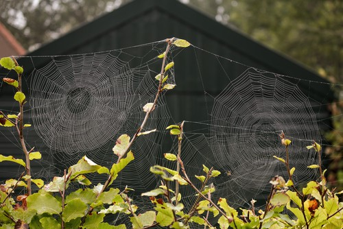 Spider webs with morning dew on beech trees.