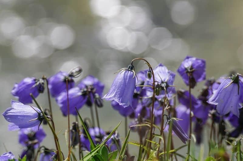 best-plants-for-your-vertical-garden-1-bellflowers-pixabay