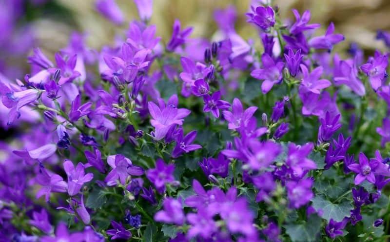 best-plants-for-your-vertical-garden-3-lobelias-pixabay