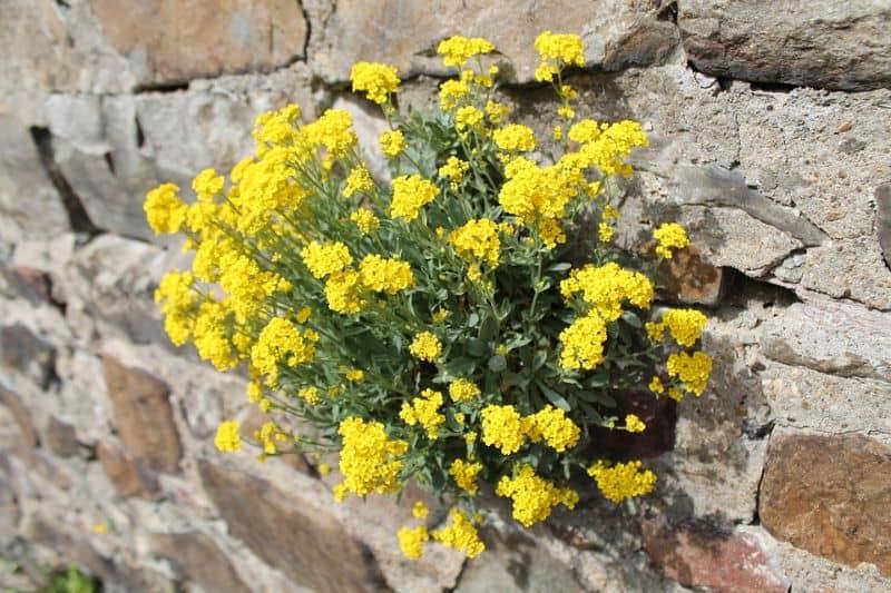 best-plants-for-your-vertical-garden-8-wallflowers-pixabay