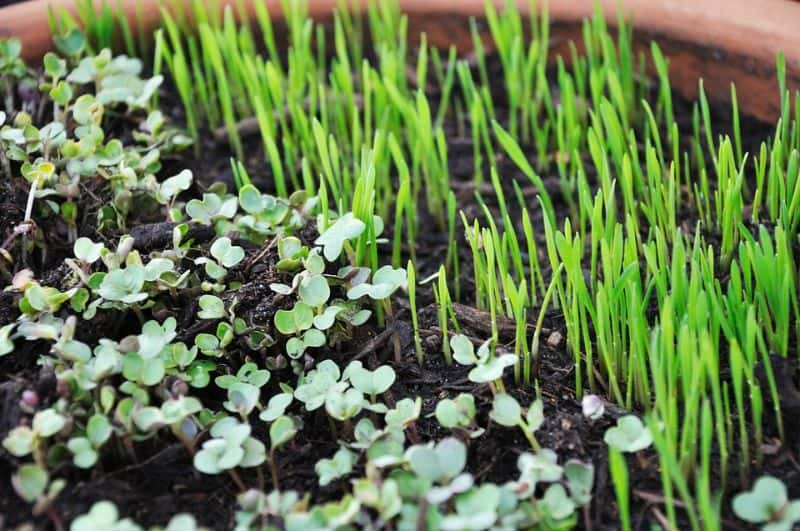 common-gardening-terms-you-should-know-8-microgreen-pixabay