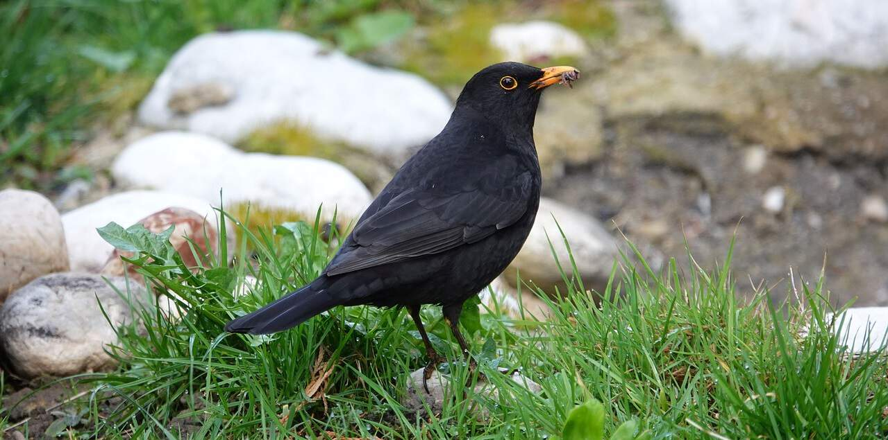 common-wild-birds-uk-4-blackbird