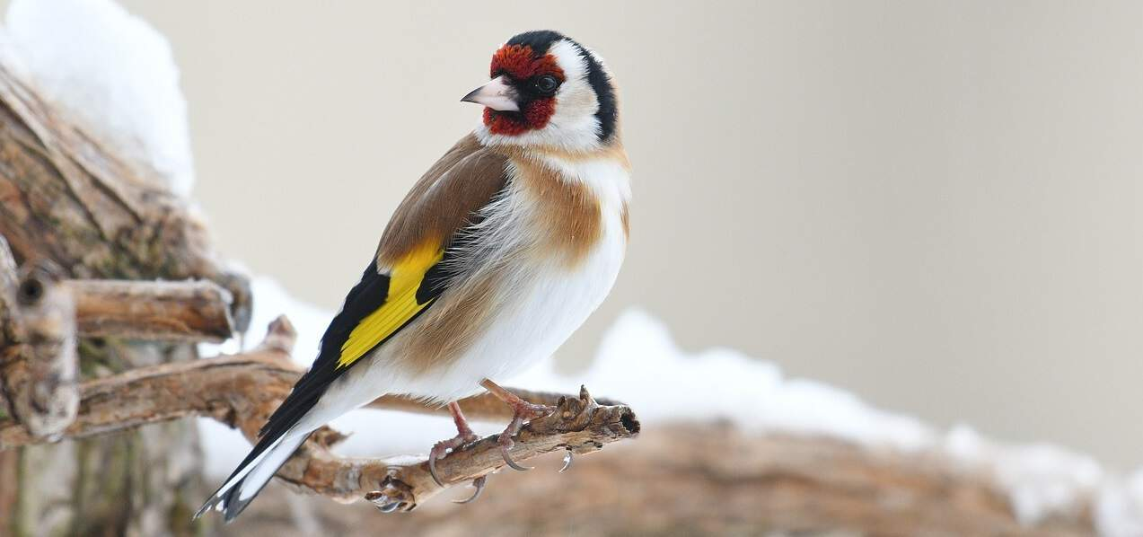 common-wild-birds-uk-6-goldfinch