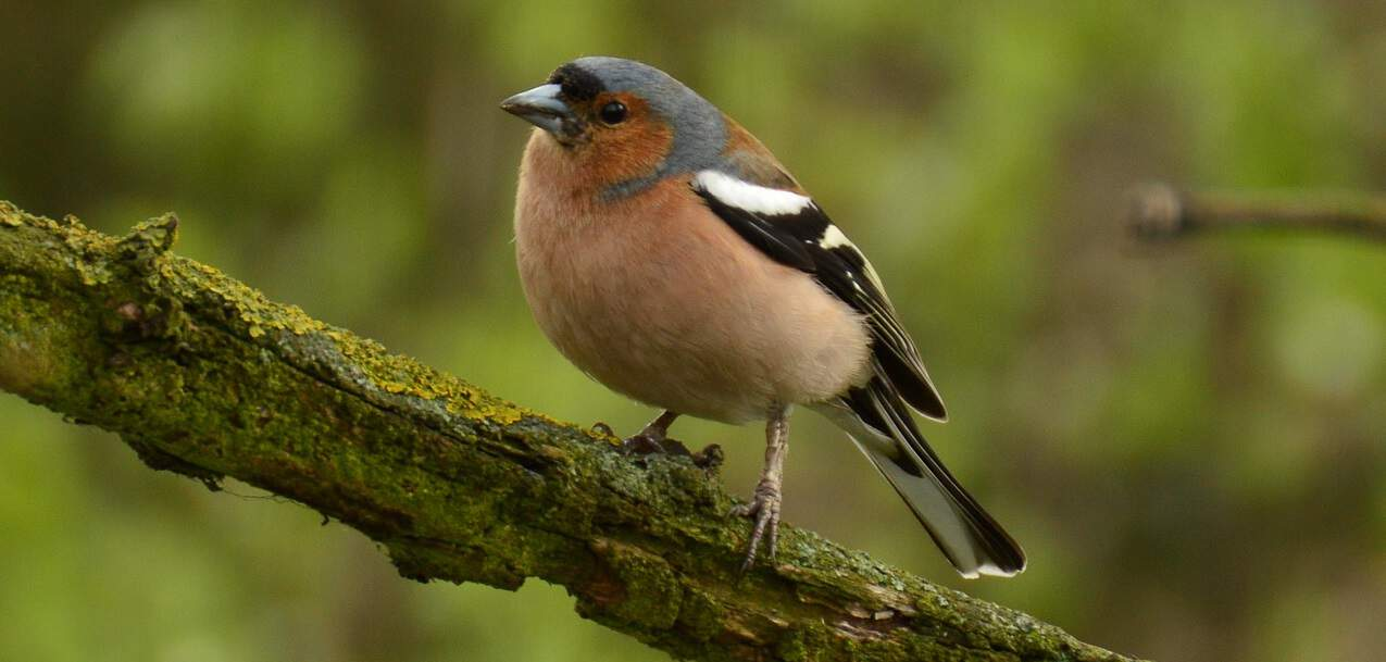 common-wild-birds-uk-9-chaffinch