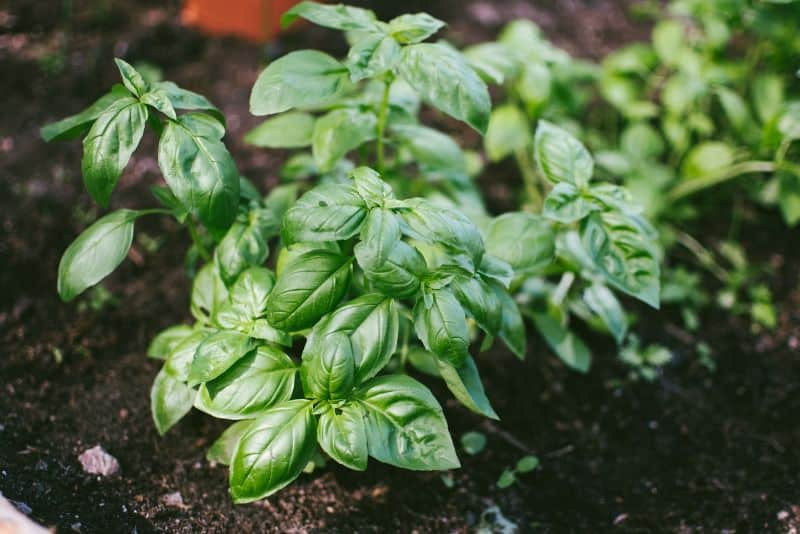 companion-planting-guide-2-herbs-on-mass