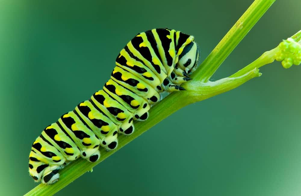 The Magical Caterpillar Trick