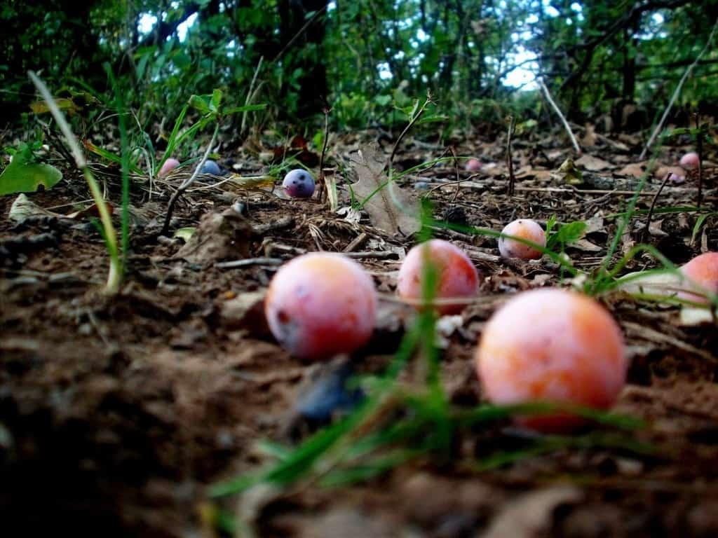 fallen fruit by tokyorain91 d30kpub How Not To Be A Garden Lawbreaker