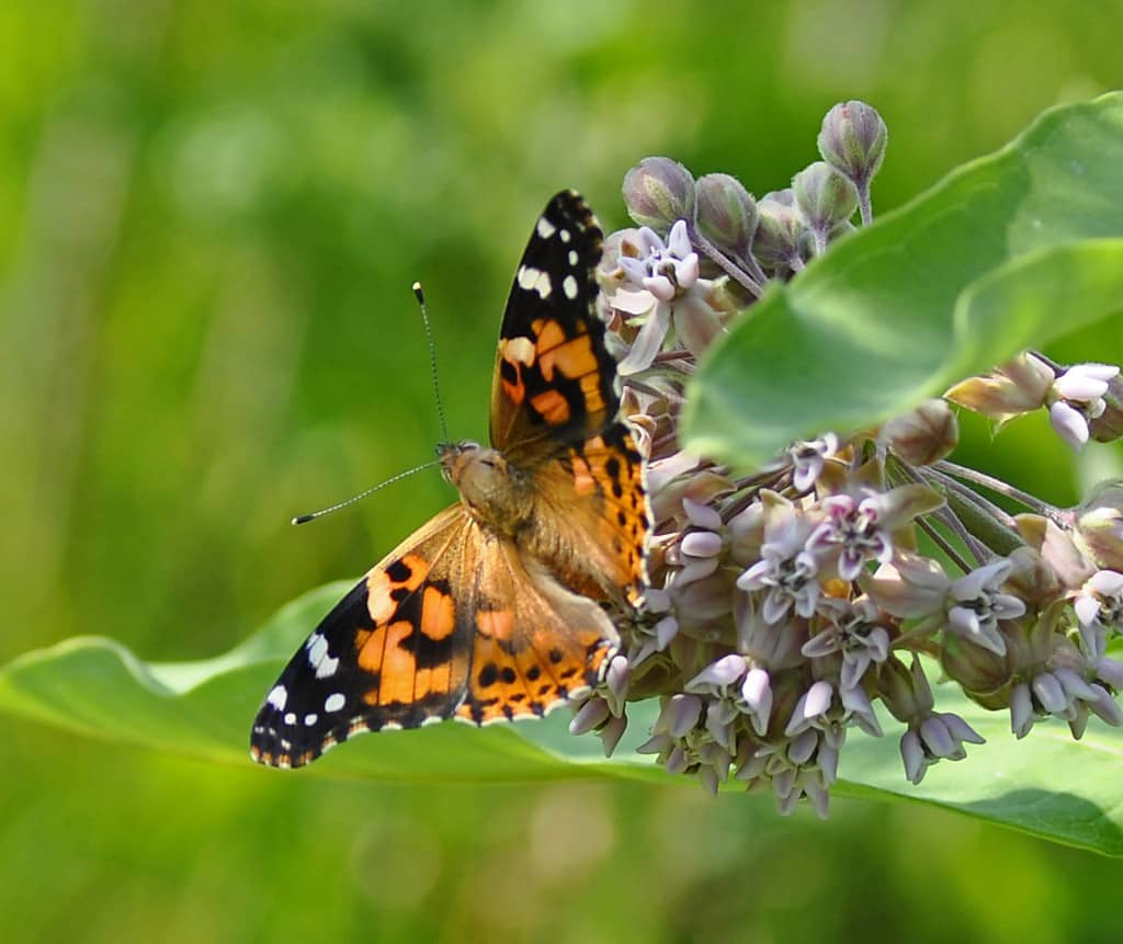 file9881340150347 Painted Lady Butterfly