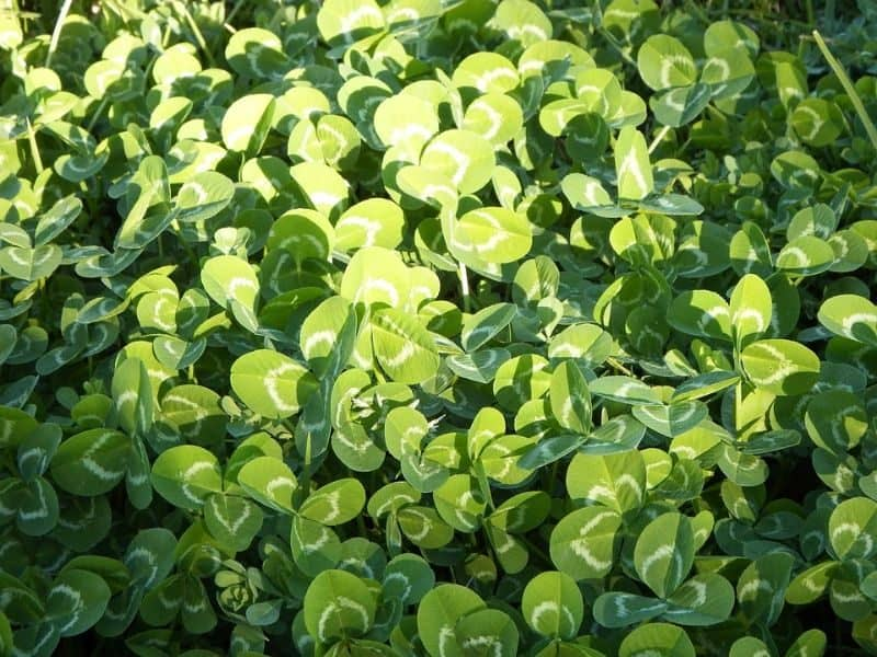 garden-lawn-care-tips-79-plant-a-clover-lawn