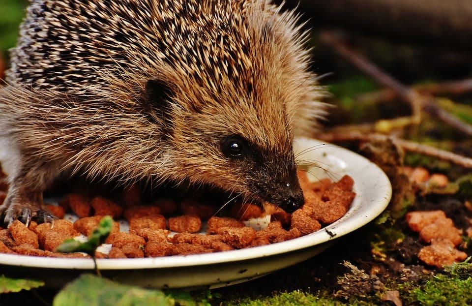 hedgehog child 1777931 960 720 How To Help Hedgehogs In Your Garden