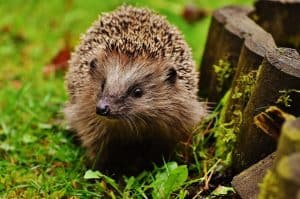 helping-hedgehogs-survive-1-safety
