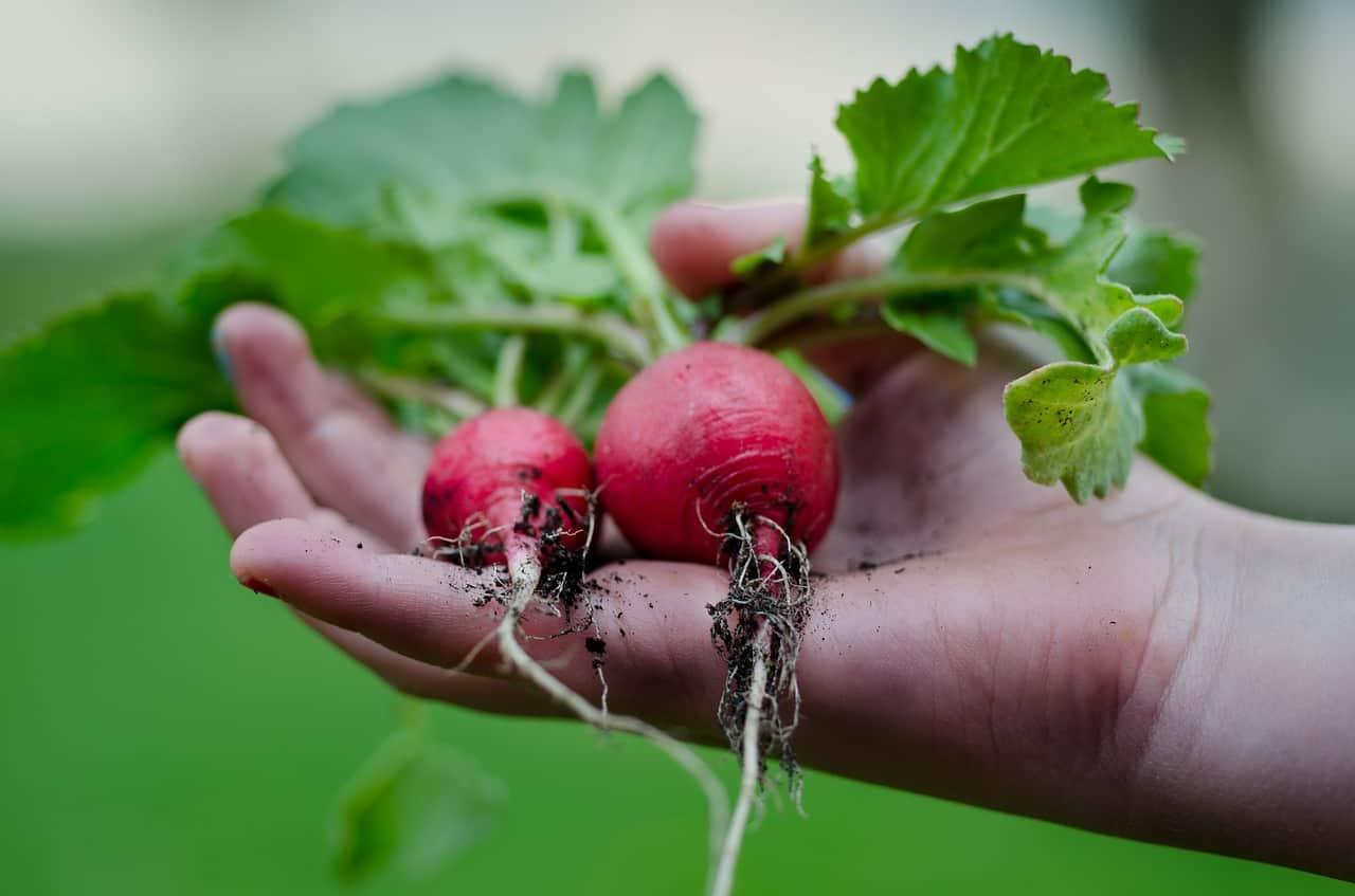 indoor-crops-1-radish-pixabay
