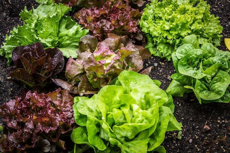 indoor-crops-4-leafy-greens-pixabay