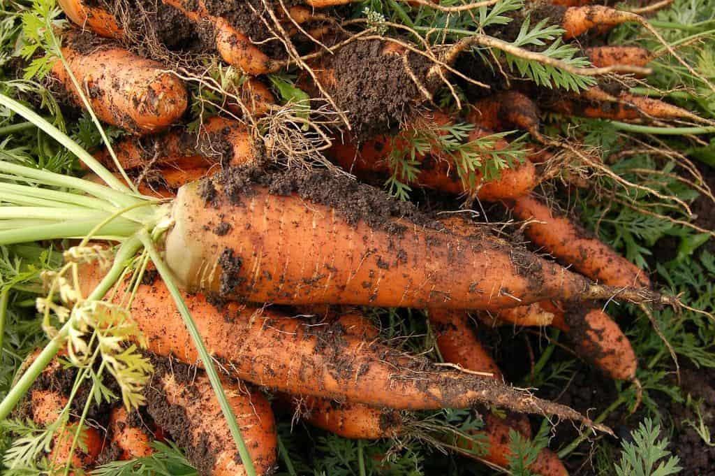 indoor-crops-5-carrots-pixabay