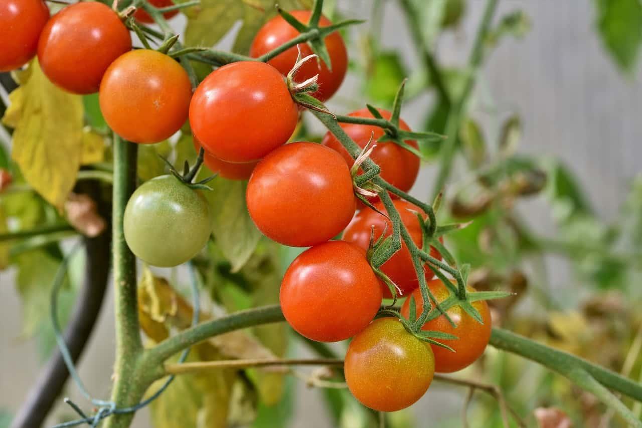 indoor-crops-6-tomatoes-pixabay