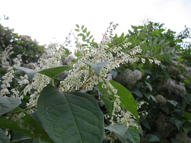 japanese-knotweed-definitive-guide-1-where-does-it-come-from