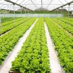 lettuce with nice view rm 1 150x150 Your Ultimate Plant Identification & Useful Reference Guide