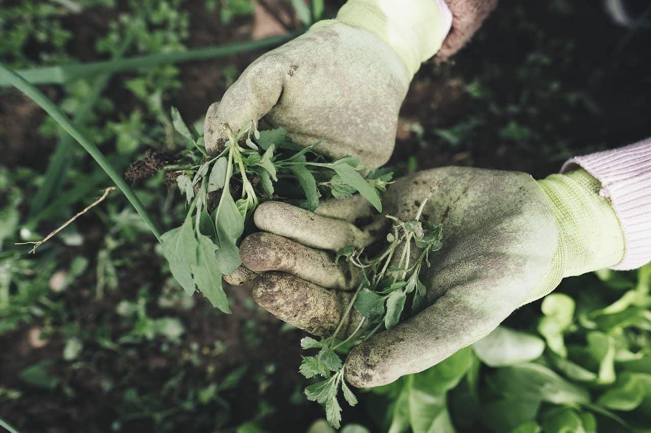 may-gardening-jobs-1-weed-pixabay