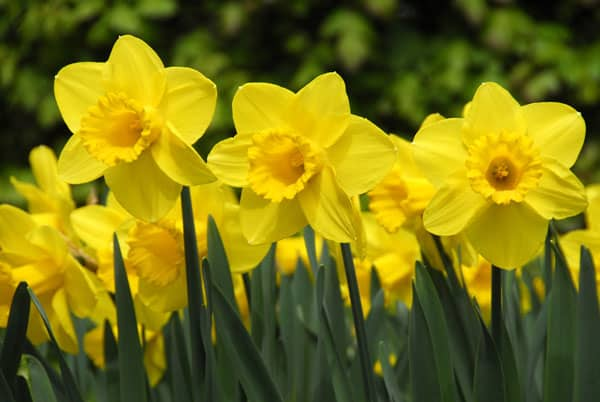 Daffodils – A Beginners Guide