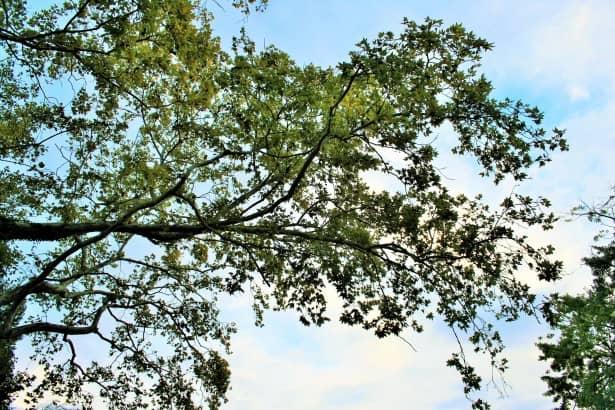 plane tree overhang How Not To Be A Garden Lawbreaker