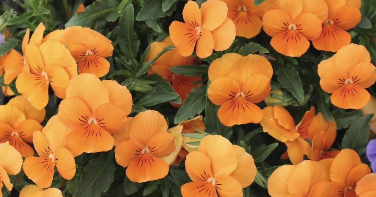 plant-profile-nasturtium-guide