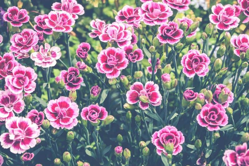 plant-profile-pinks-dianthus-1-recommended-varieties