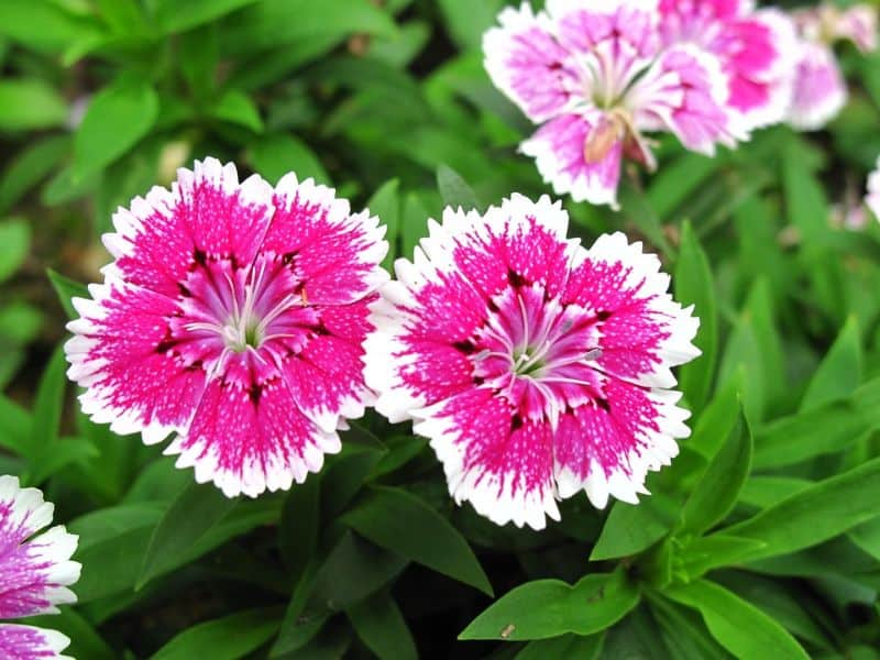 plant-profile-pinks-dianthus-2-growing-tips