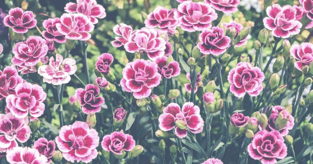 plant-profile-pinks-dianthus