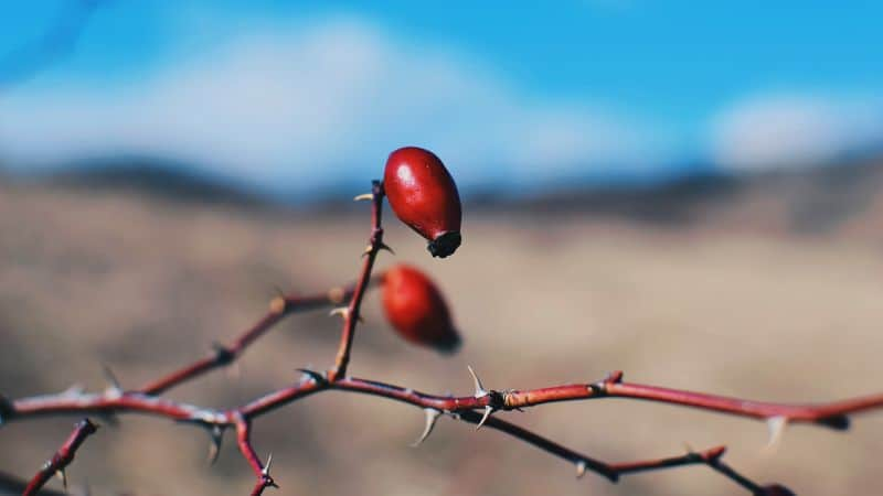 plant-profile-rosehip-guide-2-recommended-varieties