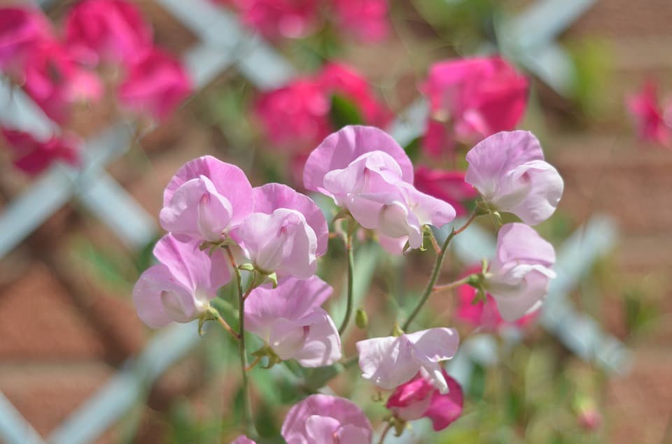 plant-profile-sweet-pea-1-history-of-sweet-pea
