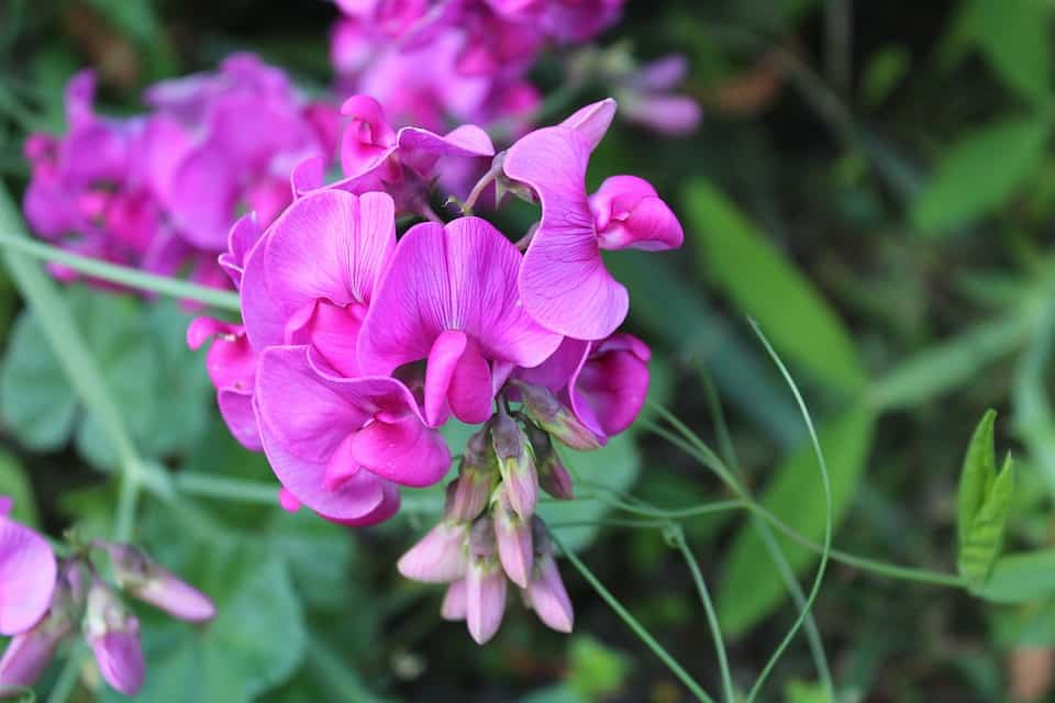 plant-profile-sweet-pea-4-step-by-step-growing-guide