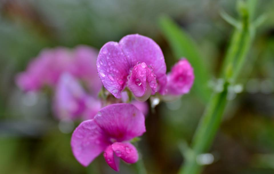 plant-profile-sweet-pea-5-aftercare
