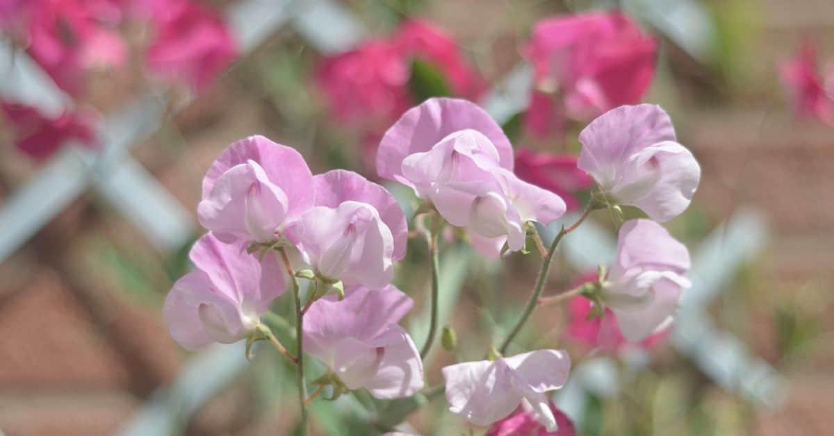 plant-profile-sweet-pea