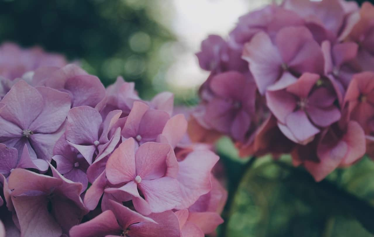 poisonous-plants-lurking-garden-5-hydrangeas