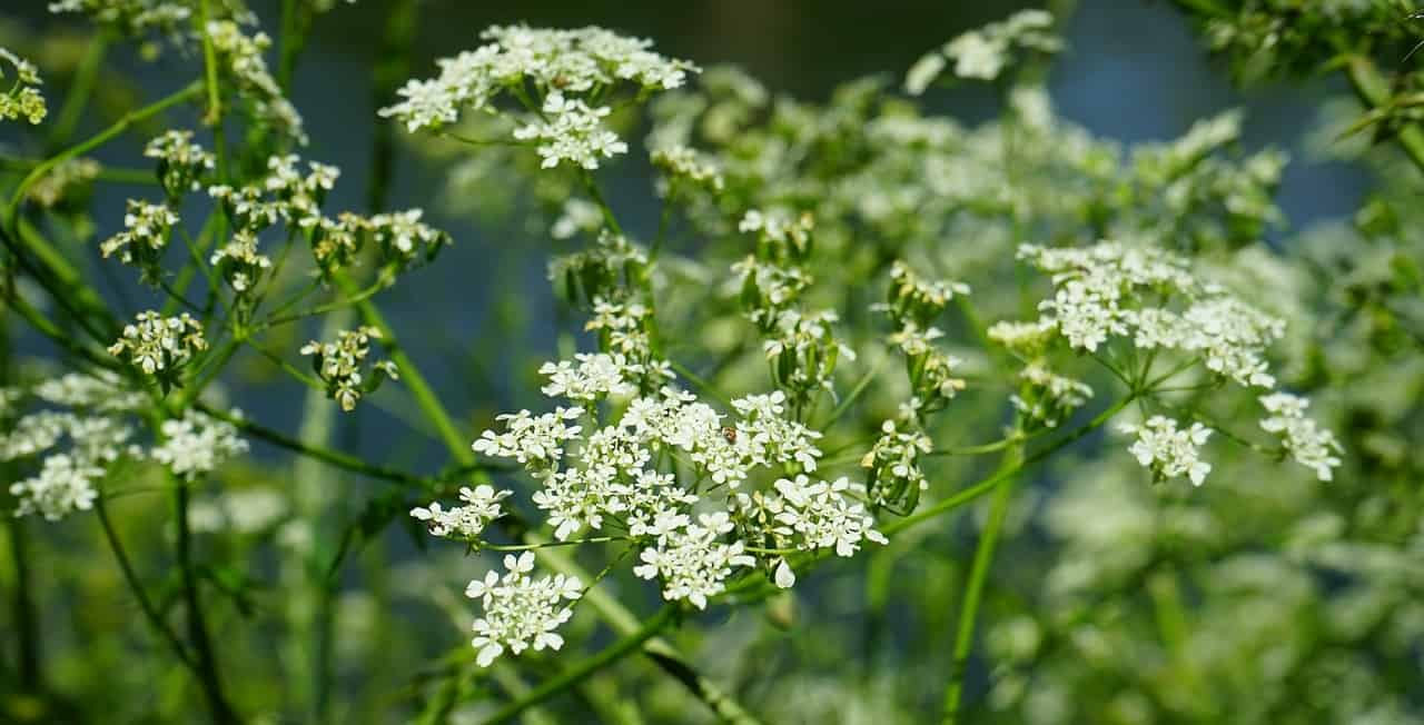 poisonous-plants-lurking-garden-8--hemlock