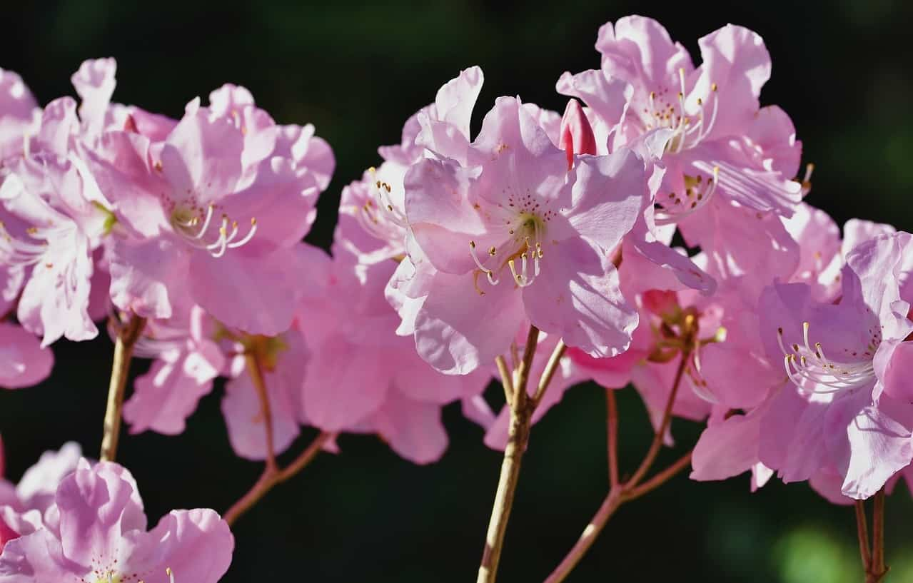 poisonous-plants-lurking-garden-9-rhododendron