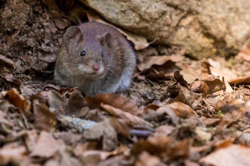 rats-in-the-garden-1-brown-rat-unsplash