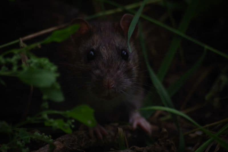 rats-in-the-garden-2-black-rat-unsplash