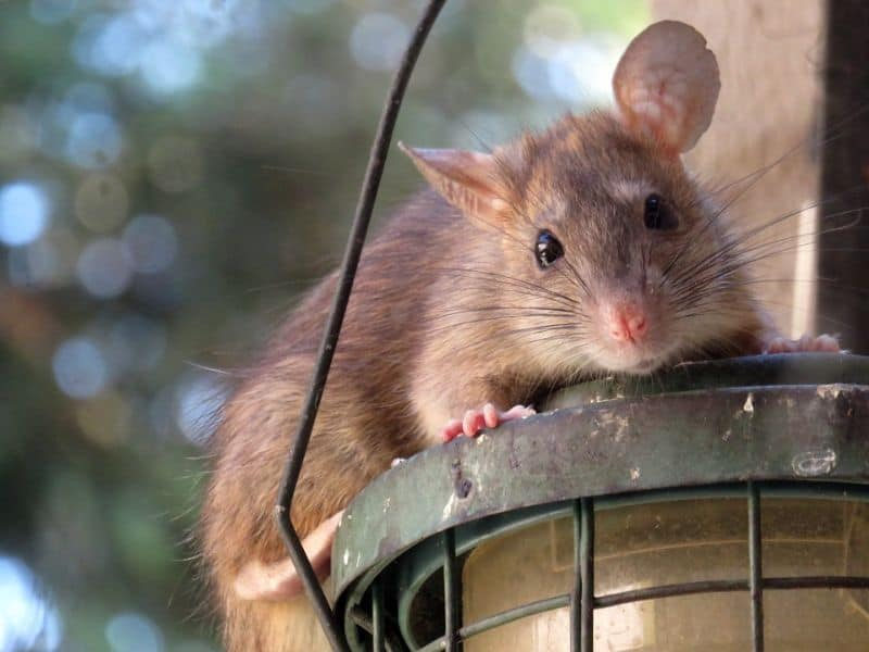 rats-in-the-garden-4-watch-out-for-bird-feeders-pixabay